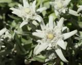 Edelweiss #835 (4981)