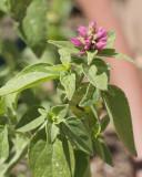 Hummingbird Mint  #845 (5015)