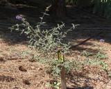 Butterfly Bush #307 (5934)