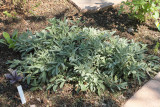 Lavender Sage (Tag #635)