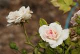 Rose 'MEIdomonac' #323 (5468)
