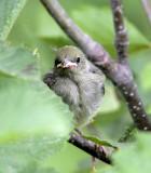 Baby Golden-Winged Warbler