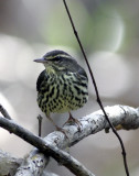 Northen Waterthrush.jpg