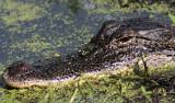 American Aligator at home Texas.jpg