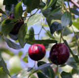 Jujube 1 with insect.jpg