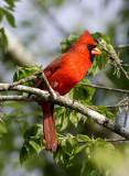 Northen-Cardinal