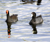 American coot right and Common Moorhen on the left.jpg