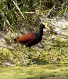 Northen-Jacana