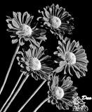 Glenbrook National Park daisies.