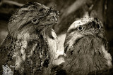 Frogmouth.