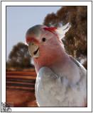 Galah Lovliest Of Birds and so Friendly