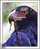 Featherdale Eagle.