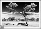 Australian Gumtree against the elements.