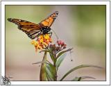 Monarch Butterfly in Harvey Garden.