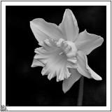 Daffodil mono.
