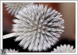 Seed Heads Come In All Shapes And Sizes.