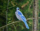 Geai bleu au soleil - Huile 14 X 18 - Collection privée