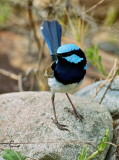 Superb Blue Fairy Wren