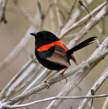 Red Back Fairy Wren