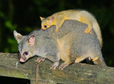 Brush Tailed Possum And Young