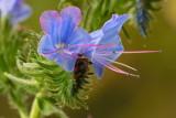 Vipers Bugloss Flower