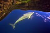 Fiordland Dolphin