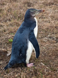 Yellow Eyed Penguin - Immature