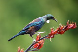 Tui Feeding on Flax