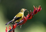 Bellbird Feeding on Flax