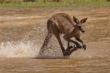 Grey Kangaroo Crossing Water