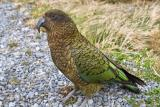 Kea - Mountain Parrot (Nestor notabilis)