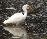 Kotuku - White Heron - Westhaven Inlet