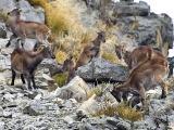 Himalayan Tahr - (Hemitragus jemlahicus)
