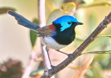 Variegated Fairy Wren Male