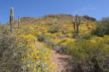 Desert Bloom, Kofa, AZ, 2009
