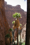 Perhaps the only native palm trees in AZ