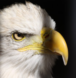 Eagle at  World Birds of Prey/Peregrine Fund in Boise--main place for hatching California Condors