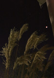 Lunar Eclipse, Saturn, Regulus above Buster Keaton's old Pampas grass
