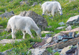 Mountain Goats with Wildflowers
