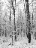 Trees/Snow