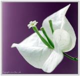 Flower of Silent