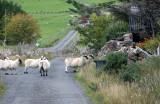 Follow the  sheep