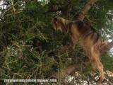 goat in an argan tree