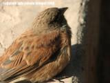 moroccan sparrow