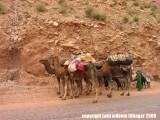 nomad camels