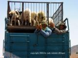 from the bus - sheep