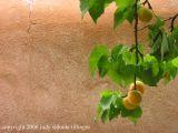 adobe apricot