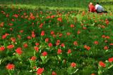 Le couple aux tulipes