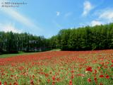 Hokkaido_Furano_10.jpg