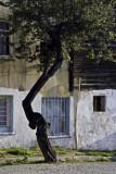 Tree, Sultanahmet #1201